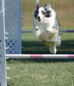 Dog jumping for agility
